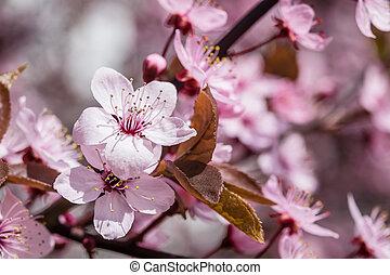 mjuk, blommig, bakgrund, med, körsbär, blomningen
