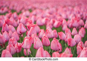 mjuk, blommig, bakgrund, med, tulpan
