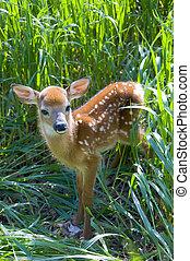 mládě, whitetailed, jelen