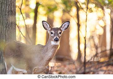mládě, whitetailed, jelen, srna