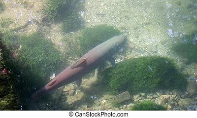mladica Hucho hucho fish from Drina