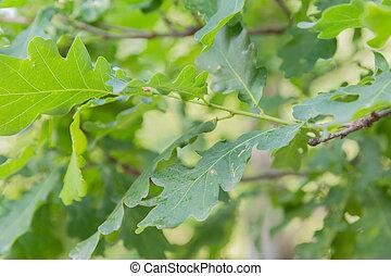 mladický list, dub, sunlight., filiálka