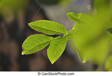 mladický list, strom, východ slunce, vlašský ořech