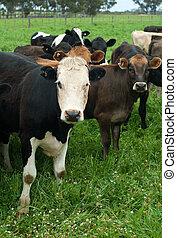 mleczarnia, krowy