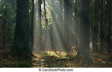 mlhavý, podzimní, jehličnatý, stanoviště, o, bialowieza, les, v, východ slunce