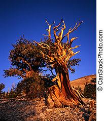 MN0582BristleconePine1 - Bristlecone Pine trees located in...