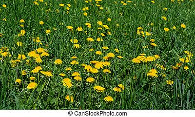 mniszki lekarskie, zielona łąka, dzień