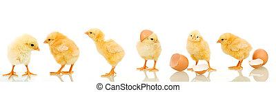mnoho, malý kuře