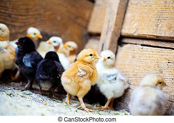 mnoho, maličký, kuře, barvitý