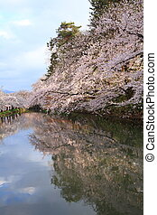 Moat and cherry blossoms