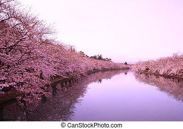Moat and cherry blossoms of Hirosaki castle, Aomori, Japan