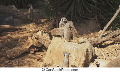 Mob of meerkats sitting in the national park.
