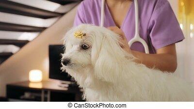 Mobile Veterinary Clinic Vet Checking Dog For Fleas Ticks -...