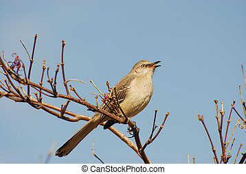 mocking bird on top of the branch
