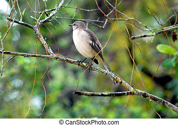Mockingbird in the wild