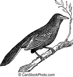 Mockingbird (Mimus polyglottus), vintage engraving -...