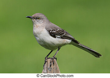 Northern Mockingbird (Mimus polyglottos) on a fence with a green background
