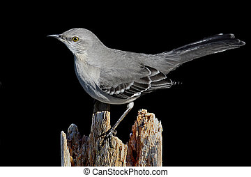 Northern Mockingbird (Mimus polyglottos) on a black background