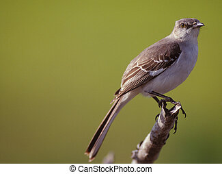 Mockingbird perched on a tree branch. New Jersey, USA.
