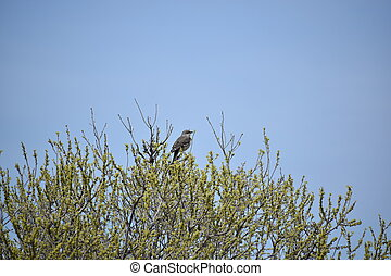 Mockingbird Perched on a Tree