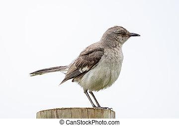 Mockingbird Sitting on a Fence Post