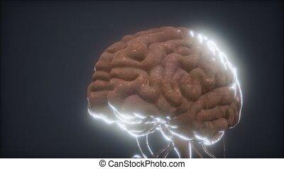 modèle, animé, cerveau, humain