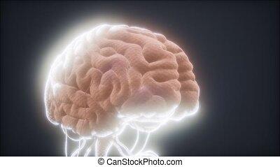 modèle, animé, cerveau humain