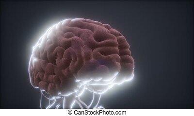 modèle cerveau, animé, humain