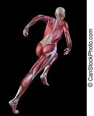 modèle, muscle, 3d