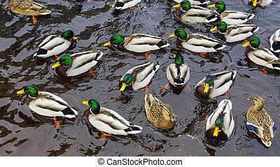 modèle, rivière, canards, canards