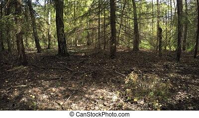 modéré, son, forêt, arbres, pin