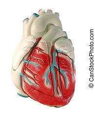 (model), coeur, humain