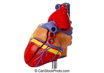 Model heart