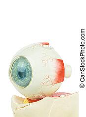 Model human eye isolated on white background