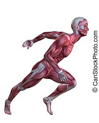model, muscle, 3d