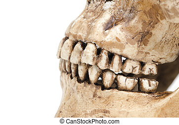 model of human teeth (skull) on a white background