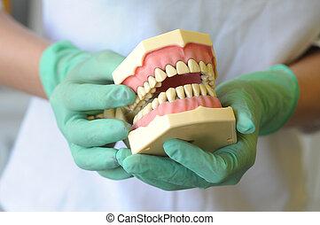 Model of teeth