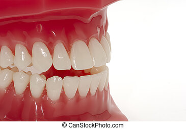 Teeth - Model of Teeth