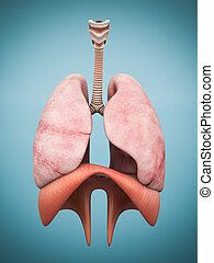 model of the lungs isolated on blue background