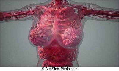 model showing anatomy of human body illustration