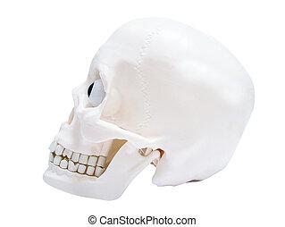 Model skull