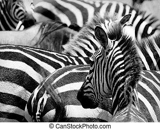 model, van, zebras