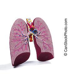 modell, lunge, anatomisch