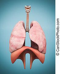 modell, lungen