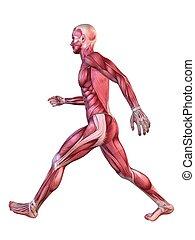 modello, 3d, muscolo