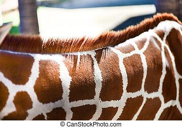 modello, giraffa