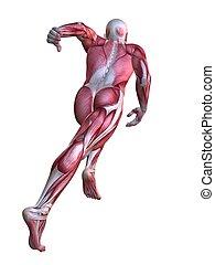 modelo, 3d, músculo