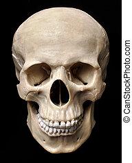 modelo, cráneo
