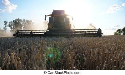 Modern grain harvester gathering crop of wheat at evening...