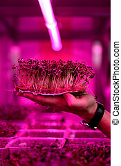 Modern home greenhouse or indoor mustard microgreens growing...